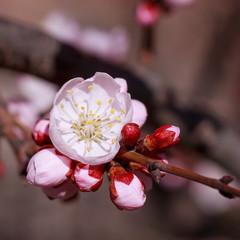 Apricot flower. Fresh spring background.