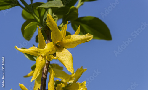 Blooming Forsythia In Early Spring Yellow Flowers Stock Photo And