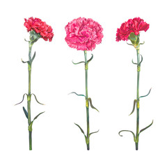 Red Carnation is a symbol of victory, mothers love. Set of three realistic colors isolated on white background. Vector illustration, EPS10 Format.