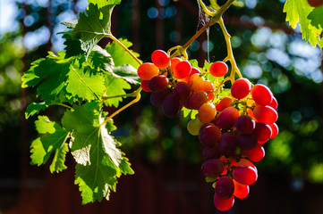 Bunch of ripe red grapes.