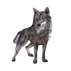 Siberia. The forest wolf. isolated on white background.