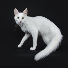 Solid white Turkish Angora cat with green eyes walking side ways isolated on black background looking straight in camera with tail hanging down