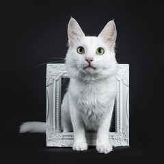 Solid white Turkish Angora cat with green eyes sitting throught white photo frame isolated on black background looking above camera