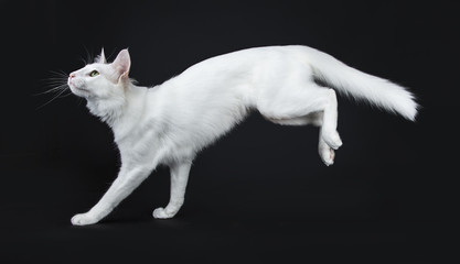 Solid white Turkish Angora cat with green eyes jumping / landing side ways isolated on black background looking up