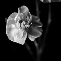 A little flower in black and white