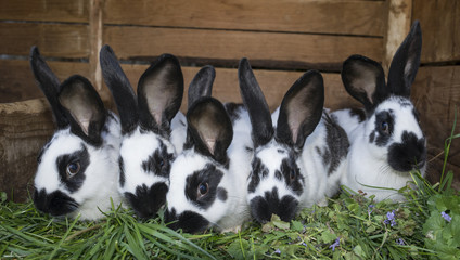 a group cute black and white rabbits with spots