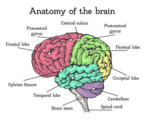 Brain anatomy color scheme