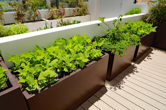 Healthy bush green bean vegetables being grown in a planter on an outdoor terrace at my condominium.