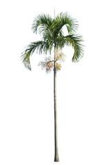 Wall Mural - Manila palm, Christmas palm tree ( Veitchia merrillii ) isolated on white background