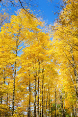Trees with Yellow leaves against Blue Sky on a Sunny Autumn Day
