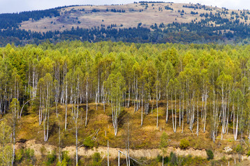 Landscape - forest of silver and white birch trees on the hill; background.