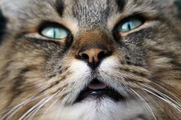 Lustige Nahaufnahme vom Gesicht einer Norwegischen Waldkatze