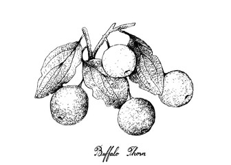 Hand Drawn of Buffalo Thorn Fruits on White Background