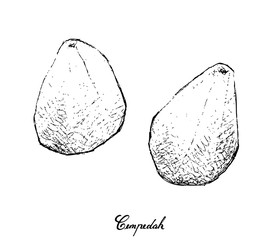 Hand Drawn of Fresh Cempedak Fruit on White Background
