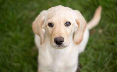 Cute lab puppy on grass