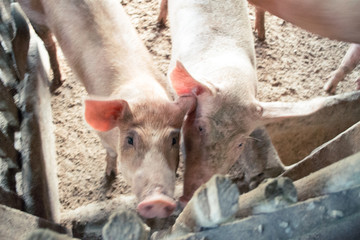 Farming Pig In Poorest Living Condition