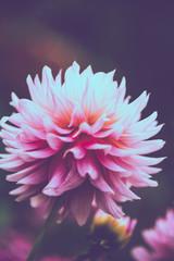background nature Flower dahlia pink. pink flowers. background blur