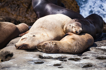 Group of California Seal Lions sunbathing on the rocky coastline of La Jolla Cove California