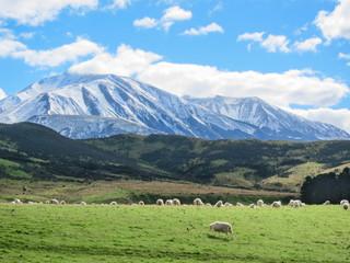 Merino sheeps  on field in farm, new zealand