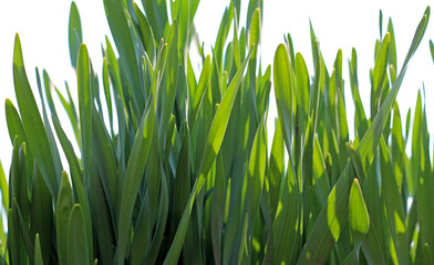 background of young green grass
