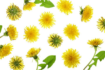 Dandelion flower or Taraxacum Officinale isolated on white background. Top view. Flat lay pattern