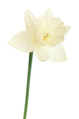 Narcissus spring flower on white