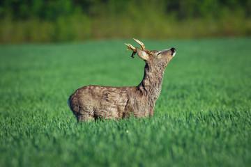 European roe deer. Roe deer in Summer landscape