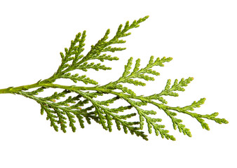 branch of green thuja. on a white background