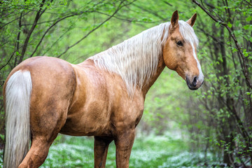 Portrait of an arabian stallion in a spring forest