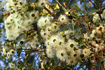 Marri flowers bloodwood tree, Red Gum, Port Gregory gum blossoming in Western Australia