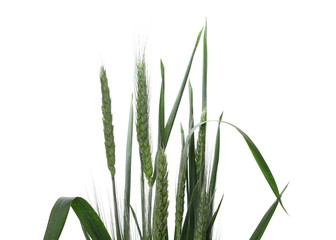 Green ears of wheat isolated on white background, with clipping path
