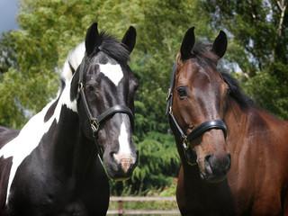 Head Shot of Two Horses