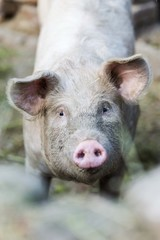 pig head close up