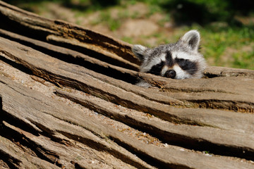 Hiding place of raccoon