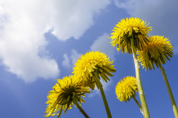 some typical dandelion flowers
