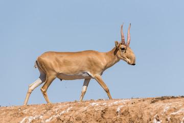 Foto op Aluminium Antilope Saiga tatarica, Chyornye Zemli (Black Lands) Nature Reserve, Kalmykia region, Russia.