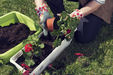 Woman's hands in gloves planting red pelargonium