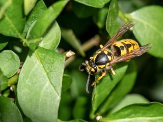 Vespula germanica- German Wasp on a leaf in nature.Macro photo