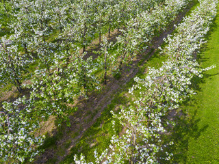 Aerial view of the rows of flowering apple trees in the fields of Poland
