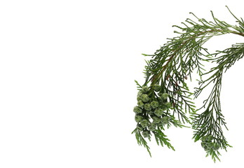 Pine branch isolated on white background, clipping path