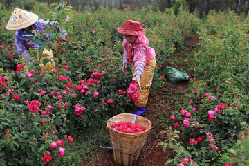 Women gather rose petals at a rose plantation in Anning