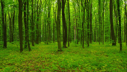 Forest trees in spring