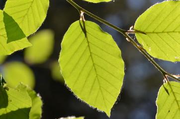 Green beech leaf lighted by sunbeams