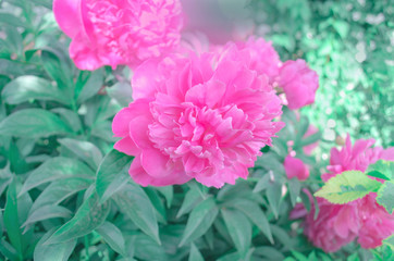 Rosy red peonies in blurred green background