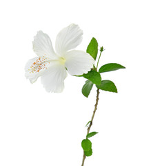 hibiscus flower  on white background