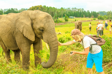 Elephant experience. Tourist man touchs and photographs an elephant in Plettenberg Bay, Western Cape on Garden Route, South Africa. Travel photographer interacting with Elephant. Big Five encountering