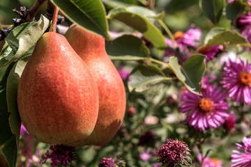 ripe juicy pears hang on a tree against a background of garden flowers. background image