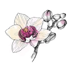 Hand drawn black outline orchid on a white background isolated. Highly detailed illustration with watercolor. Beautiful exotic flower. Cymbidium for your logo, composition, design.