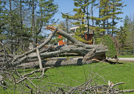 Tree uprooted and broken from high wind