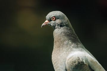Closeup photo of Feral Pigeon. City dove